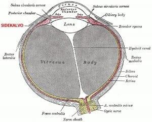 Silmän sidekalvo