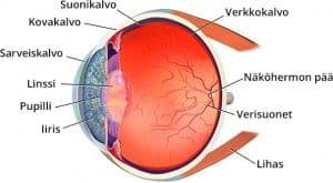 Silmän anatomia