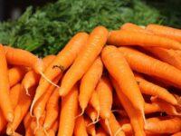 Paljon porkkanoita kasassa.